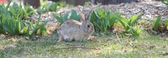 Centennial Park rabbit